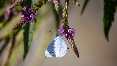 Holly Blue Butterfly (Rich Jacques) Tags: hollyblue butterfly celastrinaargiolus insect botanicalgardens sheffield august 2019 summer wildlife nature naturephotography wildlifephotography