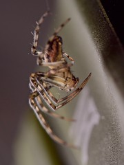 metellina segmentata (pierre.pruvot2) Tags: arachnides arthropodes autresinvertébrés guînes hautsdefrance lumixg9 macro maison olympus60mmmacro panasonic spider