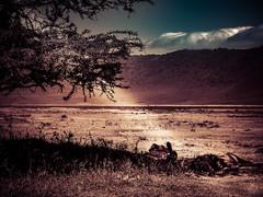 BROTHERS UNDER THE ACACIA (eliewolfphotography) Tags: lion lions landscapes lionking animals africa african nature naturelovers nikon naturephotography ngorongoro natgeo naturephotographer natgeowild ngorongorcrater tanzania wildlife wildlifephotographer pantheraleo