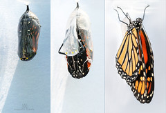 closed - to - open (marianna armata) Tags: closed open opening hatching monarch butterfly chrysalis emerging macro mariannaarmata macromondays triptych