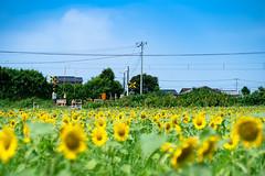 Tateyama - city / SONY α7 III ILCE-7M3 : SIGMA 50mm F1.4 DG HSM  Art (telenity) Tags: sony α7ⅲ ilce7m3 sigma 50mm art tateyama sunflower summer