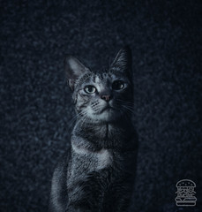 Moody Picture of a Cat (WrinklyBurger) Tags: cat cats catsofinstagram of catstagram instagram instacat catlover kitten kitty meow cute love pet animalphotography animal moody dark darkphotography graycat graycats photography moodygrams model vision