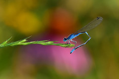 HelicopterNice2 (2)Small (Rich Mayer Photography) Tags: drwagon fly dragonfly helicopter wing wings insect insects nature perch flying flight animal animals nikon