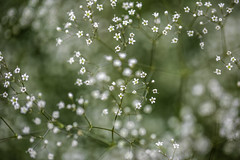 Baby's Breath 1 (Mabry Campbell) Tags: europe sweden babybreath flower image photo photograph plant f28 mabrycampbell july 2019 july262019 20190726campbellh6a1325 100mm ¹⁄₁₂₅sec 100 ef100mmf28lmacroisusm