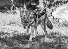 A Little Wolf (Thank you, my friends, Adam!) Tags: wideangle lenses standard telephoto super closeup zoom adamzhang orlando lakemary nikkor teleconverter ngc 漂亮 nikon dslr 长焦 长焦镜头 尼康 镜头 中佛州 野生动物 保护区 单反 lens central florida wildlife macro flower beauty curve 不完美的美 flickrunitedaward 鲜花 美丽 动人乖小鸭 color colorful colors 色彩 多姿 beautiful gorgeous gallery fine art photography photographer excellent interesting explore fun nice unique