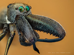 Ant mimic Spider (Nhện giả kiến) (Hai Hiu) Tags: animal insect macro extrememacro ant