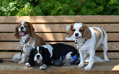 Perfectly Pooched Puppies (Anthony Mark Images) Tags: ontario canada hot dogs bench puppies sunny tired shade thirsty orillia pooched nikon d850 portrait flickrclickx cute kingcharlesspaniel caveliers