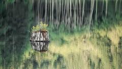 Painted (Matthew James Lewis) Tags: washingtonstate water washington reflection stump trees aldertrees plants pacificnorthwest landscape light lordslake work green