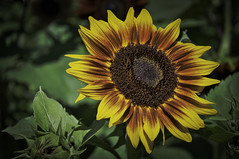Barton Sunflower 2 (bobrizz1) Tags: 1001nightsthenew 1001nightsthenewmagiccity 1001nightsmagicgarden thebestofmimamorsgroups