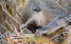 Vervet monkey - Chlorocebus pygerythrus - Chlorocebus pygerythruservet (cradenborg) Tags: c cceradenborg 2019 ambosellinp cercopithecidae chlorocebuspygerythrus kenia kenya mammalia nature openbaar public safari vervet vervetmonkey wildlife zoogdieren