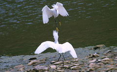 3 The Iron Claw (Kaptured by Kala) Tags: snowyegret egret whiteegret smallegret aquaticbird aquatic waterfowl waders whiterocklake dallastexas aggressive aggressivebehavior attacking waterbywinstedparkinglot displaying midair