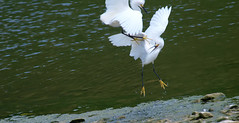 2 This Battle Is Not Mock (Kaptured by Kala) Tags: snowyegret egret whiteegret smallegret aquaticbird aquatic waterfowl waders whiterocklake dallastexas aggressive aggressivebehavior attacking waterbywinstedparkinglot displaying midair