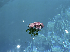 Spacewarp Roses  (MF Pro400H) (Harald Philipp) Tags: roses swimmingpool floating blue water contax 645 zeiss sonnar t fujifilm pro400h illusion 3d