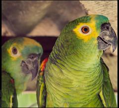 papagaios (emersonik) Tags: animalia aves psittacidae psittaciformes vertebrata animais animal animals ave bird birds papagaio parrot pássaro pássaros vertebrado vertebrate