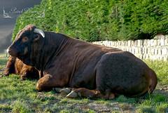 Un bel animal. ( photopade (Nikonist)) Tags: taureau animal nature nikond300 nikon apple affinityphoto afsdxvrzoomnikkor1685mmf3556ged