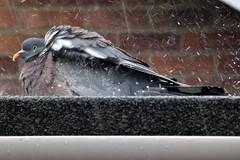 Grumpy pigeon.com (Les Fisher) Tags: pigeon raindrops rain grumpy makemesmile