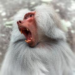 Pavian ist zornig (Roman Achrainer) Tags: pavian affe tier tierpark achrainer zoo hellabrunn münchen