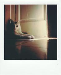 Paco (Tokil) Tags: paco cat turkishangoracat catportrait whitecat cateyes relax home atmosphere summer afternoon vintage analog film polaroid polaroidonestep