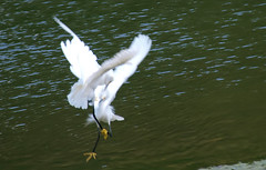 4 Death Grip (Kaptured by Kala) Tags: snowyegret egret whiteegret smallegret aquaticbird aquatic waterfowl waders whiterocklake dallastexas aggressive aggressivebehavior attacking waterbywinstedparkinglot displaying midair