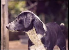 cachorro (emersonik) Tags: animalia canidae canislupusfamiliaris mammalia vertebrata animais animal animals cachorras cachorro cachorros cadela cadelas canídeo cães cão dog dogs mammal mamífero vertebrado vertebrate