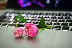 #roses #a7 #sony #olympus #50mm #macro #f3.5 #bokeh (T.E.D.P.H.A.M) Tags: macro sony 50mm a7 olympus bokeh f3 roses