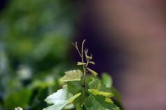 Laines-aux-Bois 2 August 2019 017 (paul_appleyard) Tags: lainesauxbois france aube august 2019 summer vine