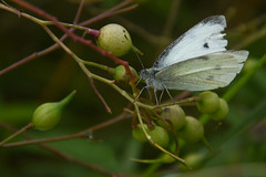 white resting (231/365) (werewegian) Tags: large white butterfly gourock lunderston bay insect werewegian aug19 365the2019edition 3652019 day231365 19aug19