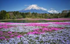 Diamonds (Wolfics) Tags: japan fuji mount mt mountain flowers zakura festival blue daylight clear sky spring time wide angle sony alpha a7iii mark 3 iii