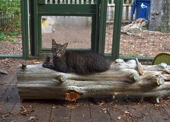 Cricket and the cedar snag (rootcrop54) Tags: cricket mackerel tabby male cat catenclosure cedar snag log neko macska kedi 猫 kočka kissa γάτα köttur kucing gatto 고양이 kaķis katė katt katze katzen kot кошка mačka gatos kotek мачка maček kitteh chat ネコ