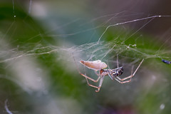 I Just Died In Your Arms (sdupimages) Tags: nature macro spider araignée