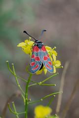 Esparsetten-Widderchen (planetvielfalt) Tags: lepidoptera zygaenidae zygaeninae leipzigrückmarsdorf sachsen deutschland