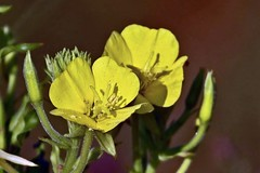 Evening Primrose (Jan Nagalski) Tags: flower wildflower nativespecies nativewildflower beach sand yellow yellowflower eveningprimrose oenotherabiennis x xshape stigma femaleflowerpart mackinawcity northernlowerpeninsula upnorth michigan summer jannagalski jannagal