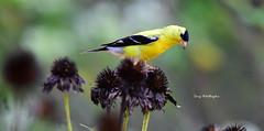 Bird-Finch_2627ce (Porch Dog) Tags: 2019 garywhittington nikon200500mm nikond750 bird finch nature wildlife backyard summer august avian feathers flower seeds