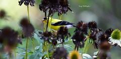 Bird-Finch_2620ce (Porch Dog) Tags: 2019 garywhittington nikon200500mm nikond750 bird finch nature wildlife backyard summer august avian feathers flower seeds