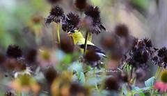 Bird-Finch_2600ce (Porch Dog) Tags: 2019 garywhittington nikon200500mm nikond750 bird finch nature wildlife backyard summer august avian feathers flower seeds