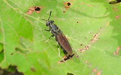 Black Soldier Fly (Hermetia illucens) (Nick Dobbs) Tags: black soldier fly hermetia illucens naturalised malta mimic stratiomyidae hermetiinae