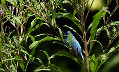 ~Indigo Bunting~ (RitaK.) Tags: bird birding birdwatching wildbird indigobunting indigobuntingmale nature nikon avian summer