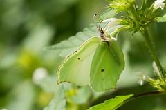 Closed Wings (Gisou68Fr) Tags: macromondays closed fermé ailes wings papillon butterfly citron brimstone gonepteryxrhamni