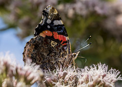 Closed Macro Monday theme for 19th August. (alderson.yvonne) Tags: macromonday closed macro butterfly nature redadmiral salthome rspb