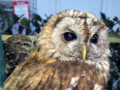 Cuddles and Thor (billnbenj) Tags: barrow cumbria owl tawnyowl raptor birdofprey littleowl