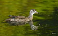 Wood Duck (jt893x) Tags: 150600mm aixsponsa bird d500 duck jt893x nikon nikond500 sigma sigma150600mmf563dgoshsms woodduck