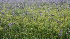 "Echte Kamille (Matricaria chamomilla) und Rainfarn-Phazelie (Phacelia tanacetifolia) auf einem Blühfeld; Bergenhusen, Stapelholm (3) (Chironius) Tags: stapelholm bergenhusen schleswigholstein deutschland germany allemagne alemania germania германия niemcy blüte blossom flower fleur flor fiore blüten цветок цветение asterids lamiids boraginaceae raublattgewächse hydrophylloideae wasserblattgewächse tanacetifolia"" campanuliids asternartige asterales korbblütler asteraceae asteroideae anthemideae matricaria kamillen blau weis phaceliatanacetifolia"