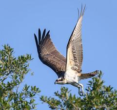 Osprey (Kevin James54) Tags: nikon500mmpff56 nikond850 osprey pandionhaliaetus wilmington animals avian bird kevingianniniphotocom