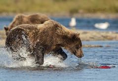 That final moment (♞Jenny♞) Tags: grizzlysow fishing salmon alaska battleriveralaska2018 jennygrimm bears