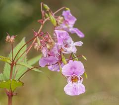 Himalayan Balsam (OwenSPhotography) Tags: flower flowers floral nature natural elton reservoir green petal petals lancashire england leaf leaves photo photography