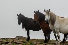 190818 AKOMENDI-GORRAMENDI (MAVARAS) Tags: mavaras caballos navarra elizondo akomendi bordamendi horse