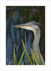 Heron heads up (prendergasttony) Tags: heron bird avian rspb nikon d7200 elements nature wildlife eyes lookingatyou theeyeshaveit