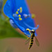 Hoverfly hanging on a Dayflower