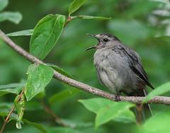 Gray Catbird (Dumetella carolinensis) (Gavin Edmondstone) Tags: dumetellacarolinensis graycatbird bird oakville ontario