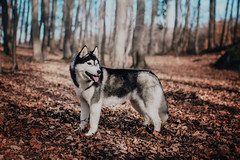 Husky (foxphotopl) Tags: dog dogs animal animals husky huskies siberian